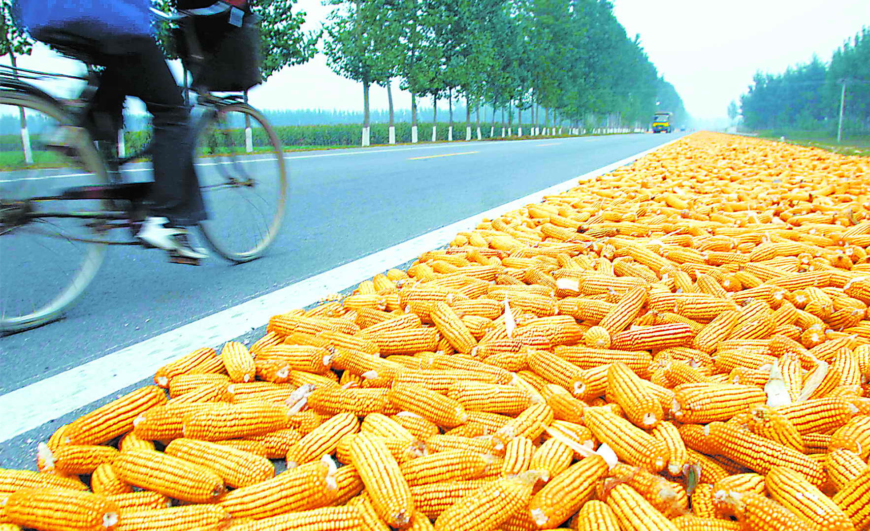 玉米行情出分歧,山东跌、港口涨,好事还是坏事?