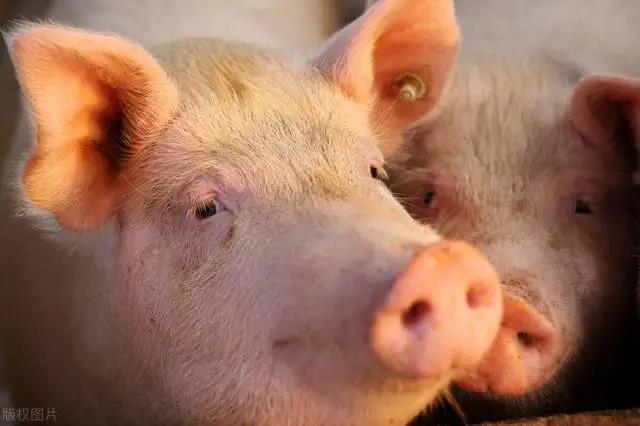 大范围强雨雪在路上,养猪户警惕2种疾病,3种药建议加起来
