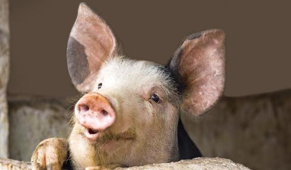 """猪价翻番涨  """"扶贫猪""""为小康生活加码"""