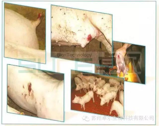 怀孕母猪霉菌毒素中毒案例,你的猪场碰过吗?