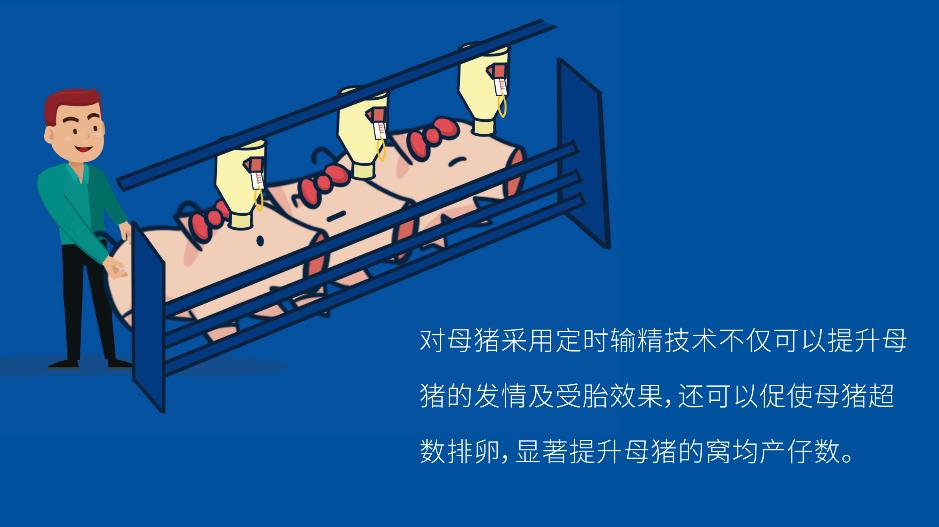 干货   提升三元母猪繁殖水平的方法