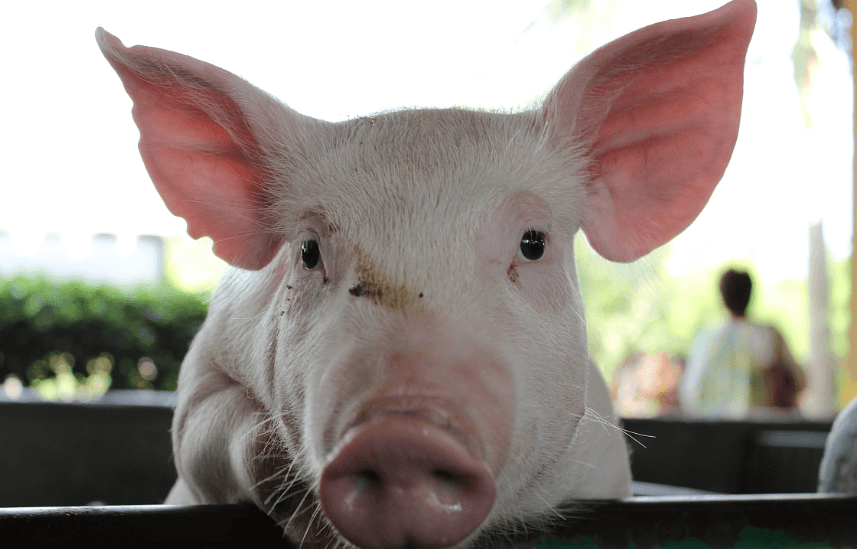 2020年11月18日全国各省市10公斤仔猪价格行情报价,猪企开始抛售仔猪,生猪已经饱和了吗?