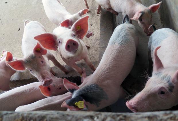 11月19日15公斤仔猪价格,连跌9周!仔猪补栏成本直降千元