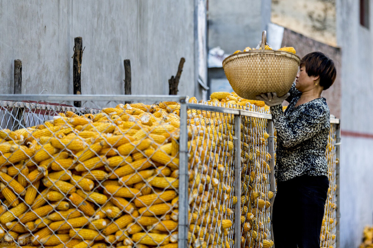 玉米接连涨价,2600元回归,但黑心粮贩却把农民骗得不轻