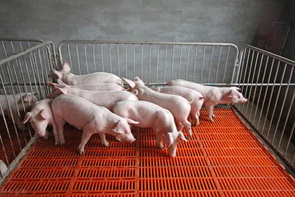技术:在粪坑中使用秸秆可降低猪舍的排放