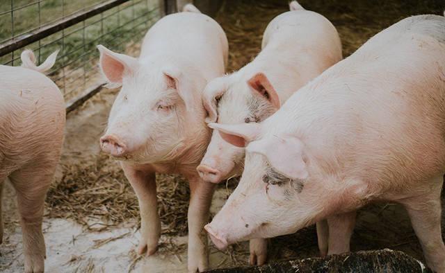 农林牧渔行业:布局生猪后周期 把握种植链机遇