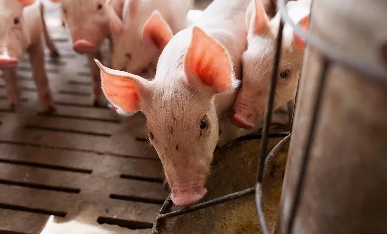 猪呕吐是什么引起的?又该怎么治疗呢?看老猪农是如何做的