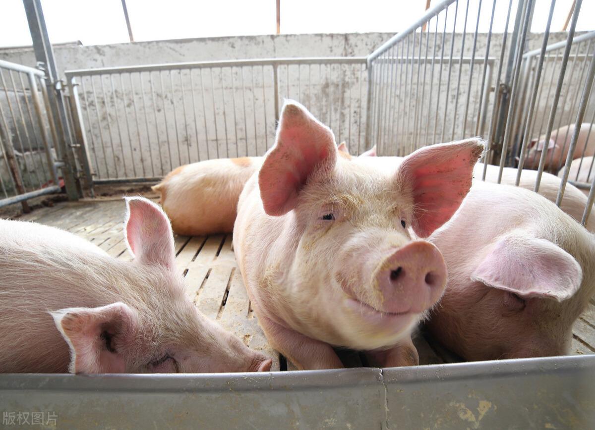 规模场一头母猪年出栏23头肥猪,散户只有18头,差在哪?