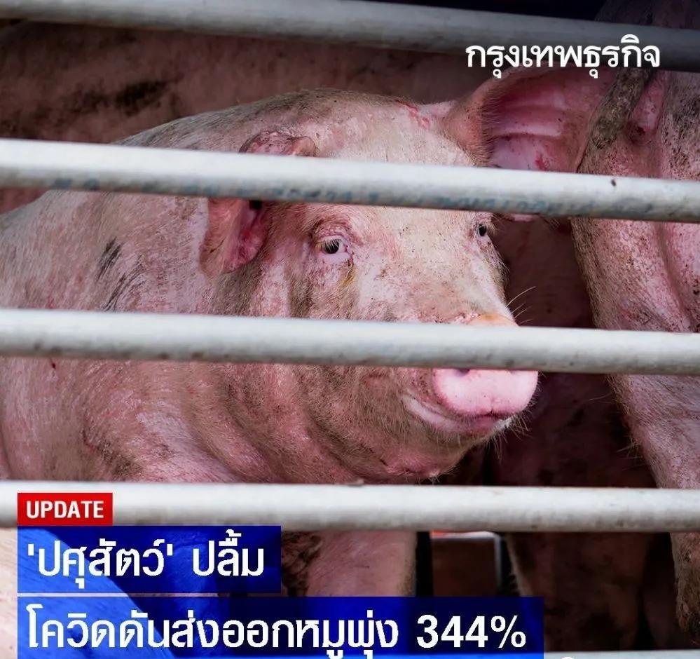 泰国生猪出口