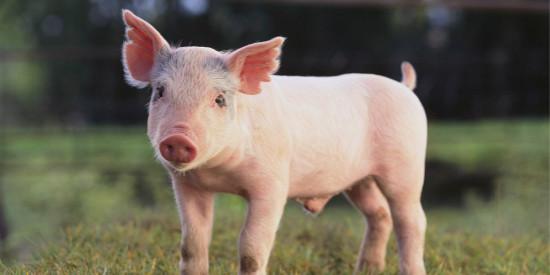 猪瘟脾淋苗与ST猪瘟细胞苗联合应用的探讨
