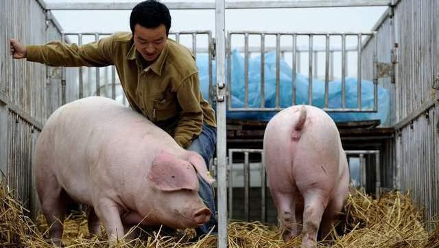 """玉米涨价,生猪降价,明年养猪还有""""3座大山"""",养殖户如何应对"""