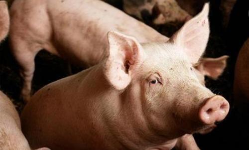 非瘟和猪瘟傻傻分不清楚?别担心,本文教会养猪人区分方法!