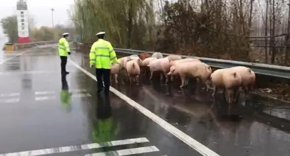 雨天路滑货车侧翻,救援生猪迫在眉睫