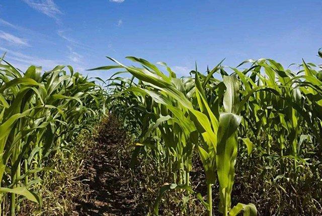 11月26日全国玉米价格行情,玉米保持小幅上涨,后续利好继续涨价!