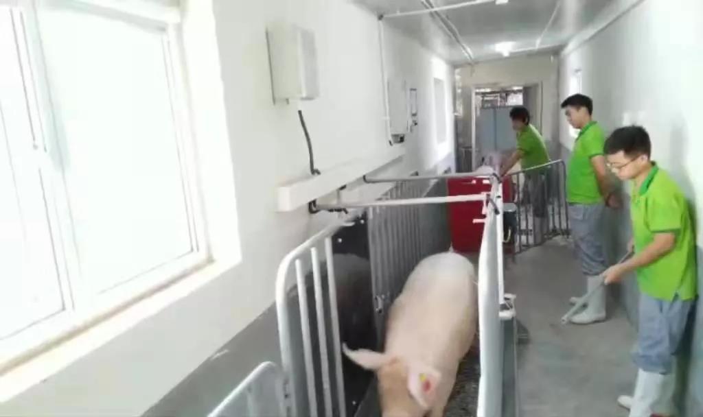称猪神器:育肥猪、种猪双向智能称重系统