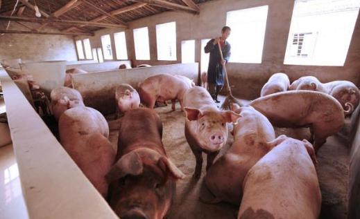 科学养猪势在必行?那一个猪舍内到底养多少头猪好呢?