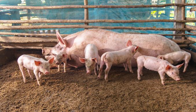 猪真的多了,猪价回归到5、6元?那各大头部猪企还在扩张是怎么回事?