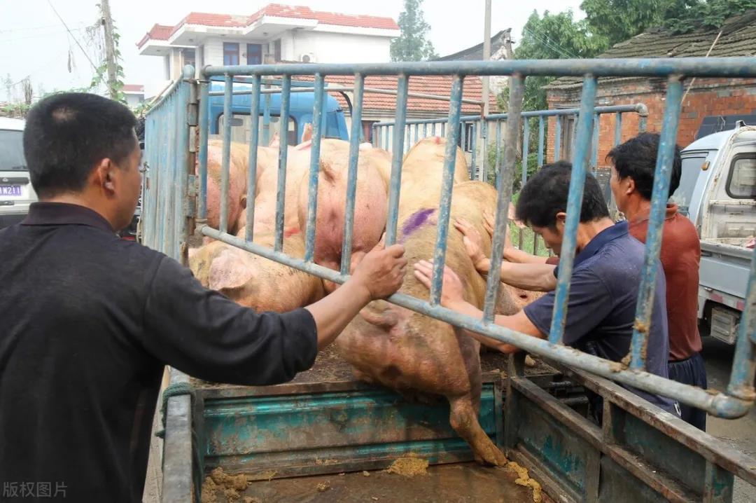 """三大原因导致,猪价突然""""飙升""""!猪肉会大涨吗?"""