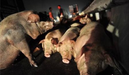 高速货车自然,109头猪被烧死,损失50万元!