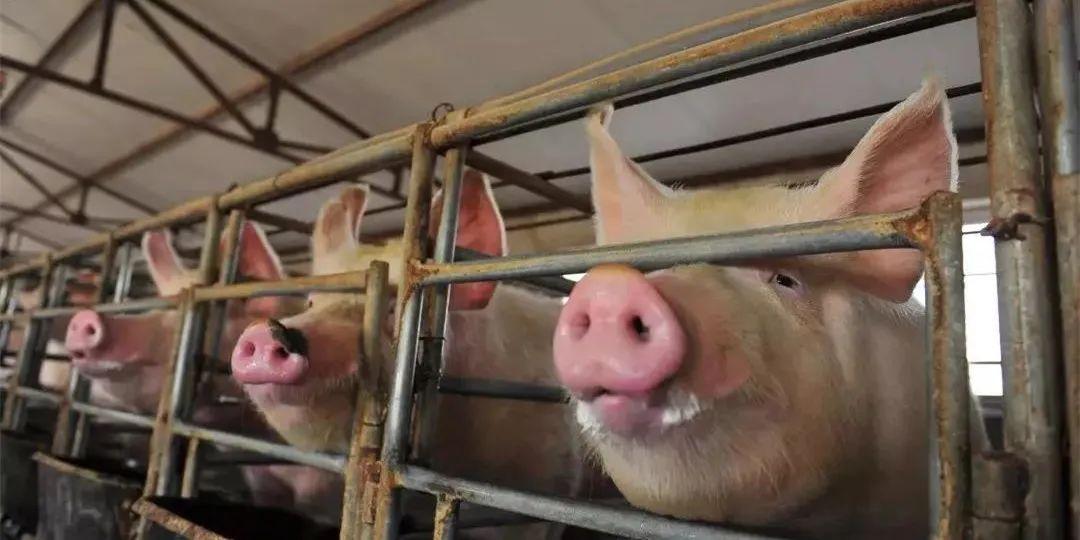 有说赚有说亏,明年猪价到底咋样?读懂这些数据心里就有底了