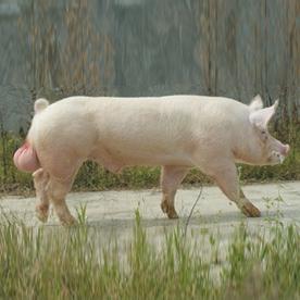 2020年12月1日全国各省市种猪价格报价表,优质二元母猪市场依旧紧缺