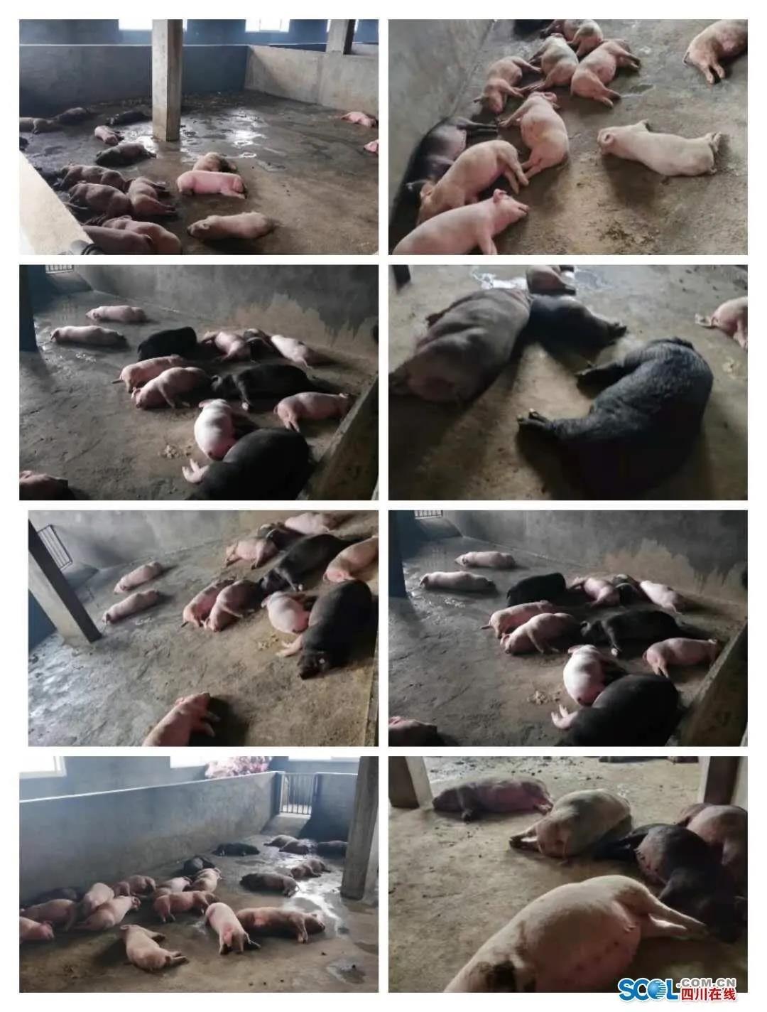 痛心!因烧煤取暖四川一养猪场99头猪丧生!冬季猪场取暖一定要多加注意!
