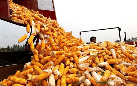 """12月2日全国玉米价格行情,玉米价格出现凌厉涨势,市场再度出现""""抢粮""""的火药味!"""