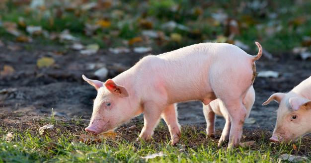 """""""六大类猪饲料""""详解:饲料在营养上各具特色,如何选择正确的饲料"""