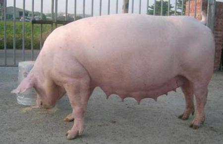 青年母猪综合征五大表现:不发情、难产、配种率低、产仔数低、淘汰率高