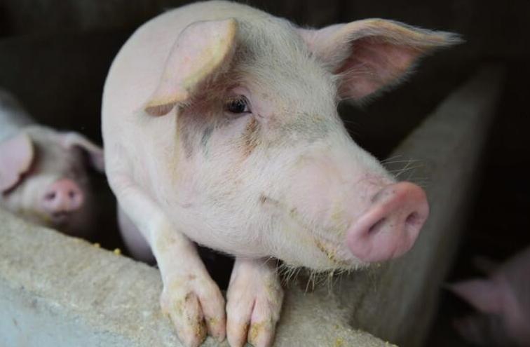 22020年12月2日全国各省市土杂猪生猪价格,绝大部分地区均价都超过30元