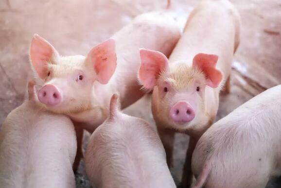 如何轻松养好后备母猪?做好这4方面,让你不用愁!