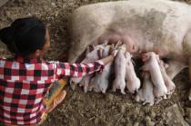 母猪分娩护理的关键措施以及临产前一小时征兆!