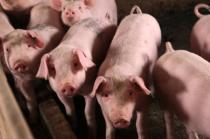 """猪风湿性关节炎,用""""猪毛草""""治疗猪关节炎,几副就好!"""