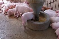 饲料价格涨不停!养猪还要学会如何节省饲料,让利润最大化