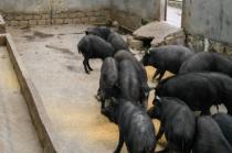 克隆猪来了!西藏首例克隆藏猪在林芝诞生,是西藏农牧业提质增效的技术成果!