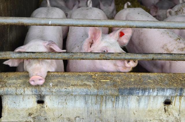 2020年12月6日全国各省市内三元生猪价格,今日全国生猪价格呈现北跌南涨态势
