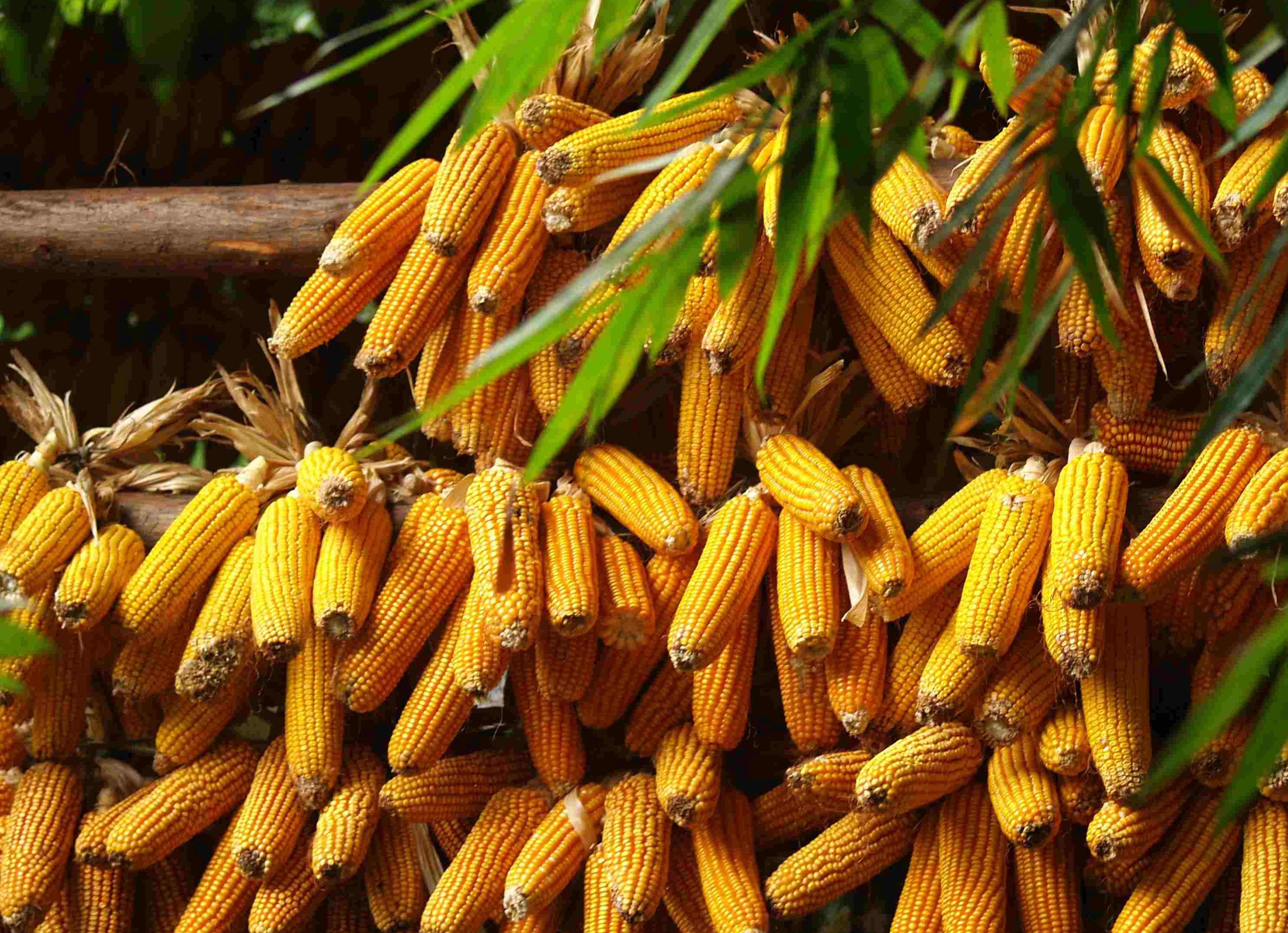 【风口上的玉米】央视新闻联播:玉米后期上涨空间有限