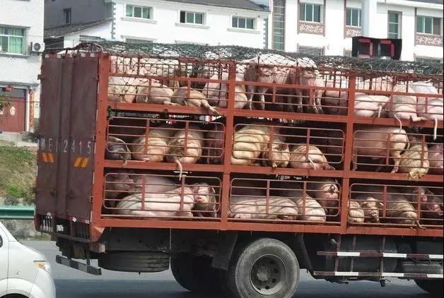 5年之后,还能养猪的就只有这2种群体?其它的全部被淘汰!