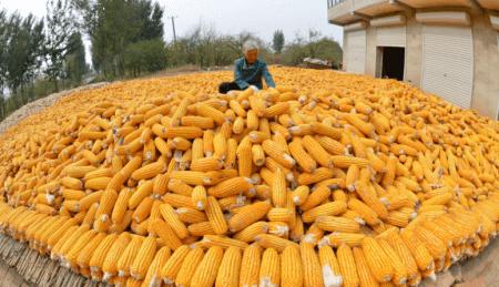 年底玉米市场热闹非凡,阶段性过剩转到供需偏紧,玉米还能涨上一涨?