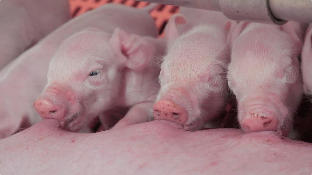 母猪奶水好仔猪才能长得快!6大小技巧做好母猪初乳管理