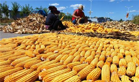 12月8日饲料原料,央企看空玉米市场,豆粕短期无大涨行情?