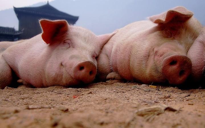 """猪的发热发烧是需要按照发热等级治疗,可别""""按部就班""""的给猪退热!"""