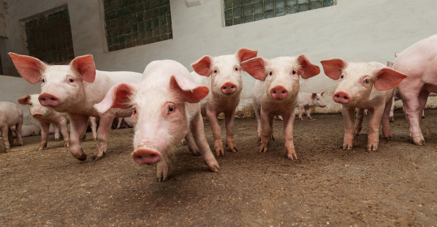 防非瘟丨猪场生物安全应该如何做?专家强调了7点!