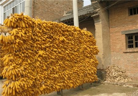 12月9日饲料原料价格,玉米基层售粮加快,原料充足豆粕难涨?