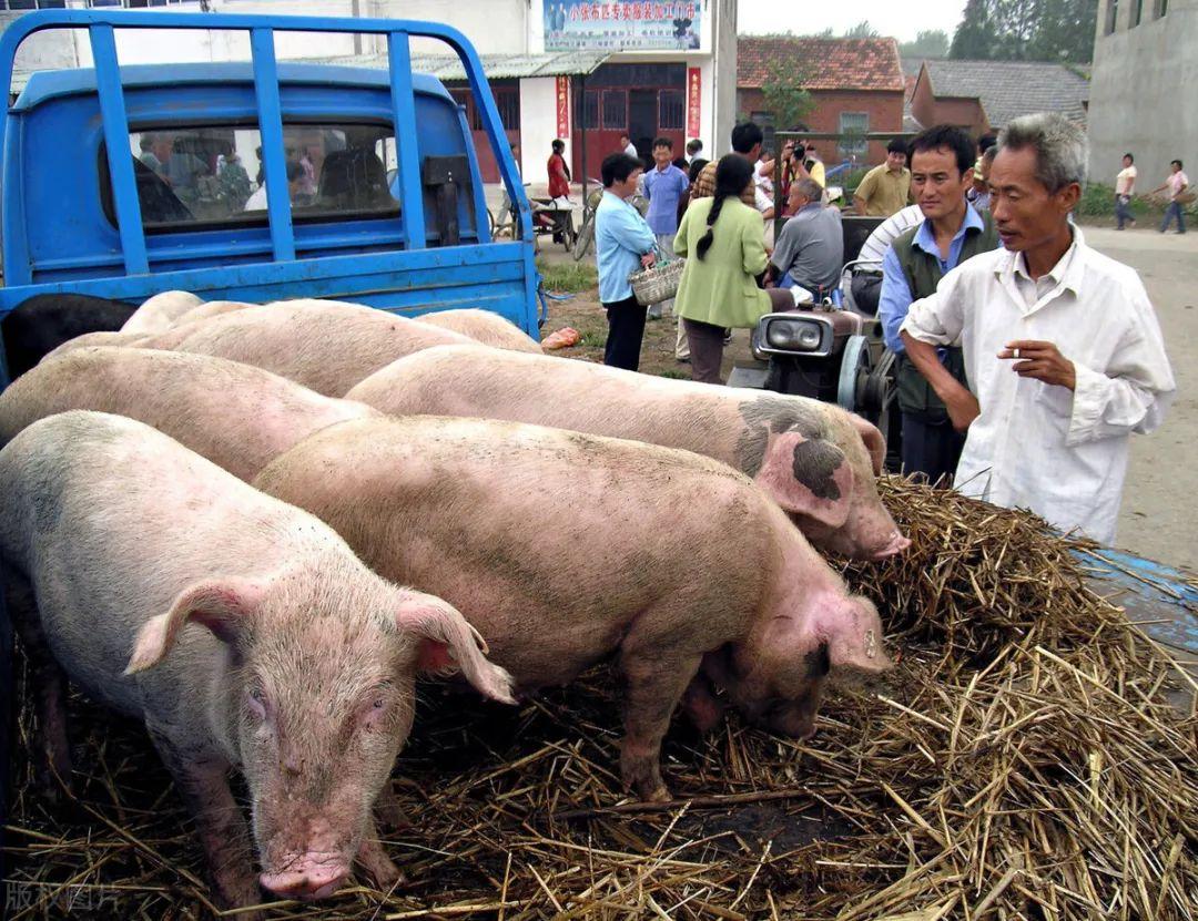 12月10日生猪价格再跌!猪市危机四伏,高价猪肉飞不动了?