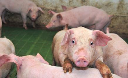 12月15日生猪价格:三大利好支撑猪价大涨!专家:撑不到春节