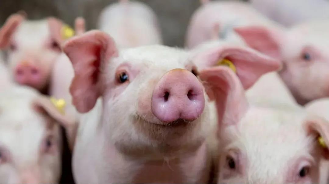 调节母猪采食关键点:高效、优质、安全、健康