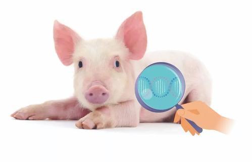 当代仔猪代乳粉的六大妙用,如何选择适合或者优质的代乳粉呢?