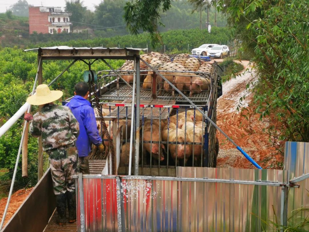 现在养猪还有钱赚吗?现在入局养殖是否好来得及?