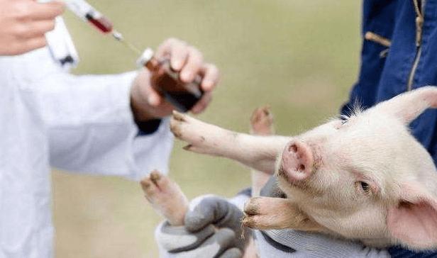 猪场生物安全措施往往决定着一个养猪场的成败!生物安全可注意以下措施